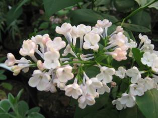 syringa x hyacinthiflora maiden's bush ( lilas précoce , pour haie massifs ou en isolé )