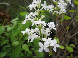 syringa oblata alba ( lilas précoce , pour haie , massif ou en isolé )