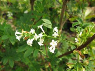 syringa pinnatifolia ( lilas ,feuillage décoratif , pour haie , massifs ou en isolé )