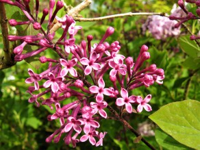 syringa julienae georges eastman ( lilas , petit feuillage , port compact ; isolé massifs , haie )