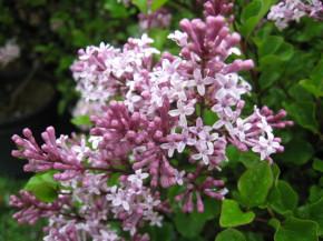 syringa meyerii pallibin ( lias très compact , petit feuillage , nain , isolé , potées fleuries , massifs )
