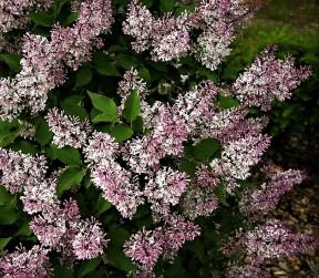 syringa patula miss kim (lilas compct , feuillage décoratif , très parfumé , haie , massifs , isolé , potées fleuries )