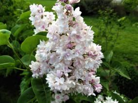 syringa vulgaris krasavitsa moskovi ( lilas , très parfumé , isolé , haie , massifs )