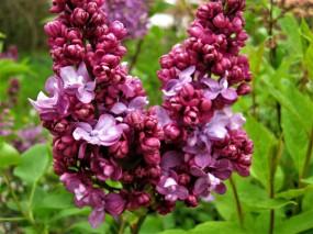 syringa vulgaris peter wolkonsky lilas , fleurs doubles , parfumé , haie , isolé , massifs )