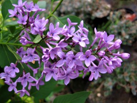 syringa x chinensis de oirsprong ( lilas , petit feuillage , parfumé , isolé , haie , massifs )