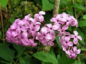 syringa x chinensis lilac sunday ( lilas , petit feuillage , parfumé , très florifère , isolé , haie , massifs )