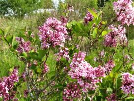 syringa x josée ( lilas compact , parfumé , floraison remontante , isolé , haie , massifs , potées fleuries )