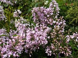 syringa x persica ( lilas , feuillage décoratif , parfumé , isolé , haie , massifs )