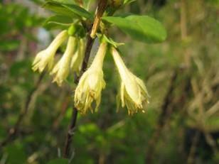 Lonicera caerulea edulis ( camerisier bleu ) arbuste puor haie , massifs ou petit fruit