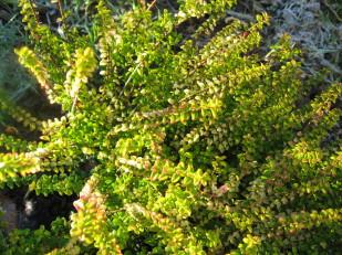 lonicera ligustrina twiggy arbuste pour rocaille , bordure , massif , isolé