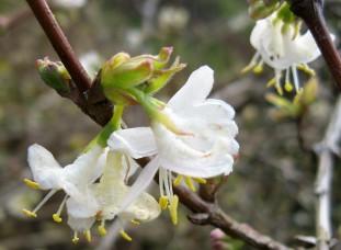 Lonicera fragrantissima  (  chèvrefeuille d' hiver ) arbuste floraison hivernale , parfumé , pour haie , massif , isolé