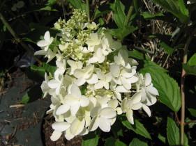 hydrangea paniculata Dolly