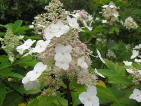 hydrangea paniculata Last Post