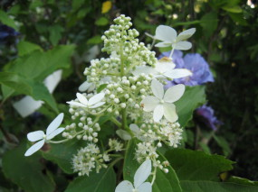hydrangea paniculata Mid Late Summer