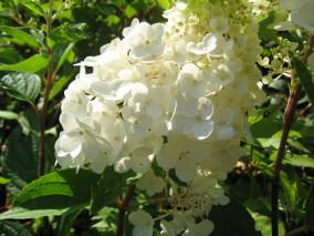 hydrangea paniculata Silver Dollar