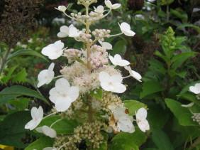 hydrangea paniculata Tender Rose