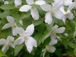 philadelphus Silvershower , arbuste , parfum