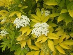 sambucus nigra Aurea , arbuste