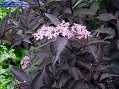sambucus nigra Black Beauty , arbuste