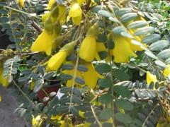 sophora Sunking , arbuste