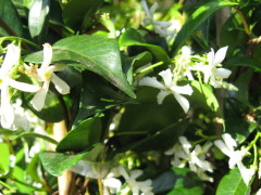 trachelospernum jasminoides , grimpante