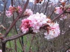 viburnum x Bodnantense Dawn , arbuste , parfum