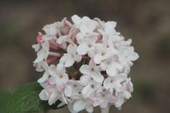 viburnum carlesii Diane , arbuste , parfum