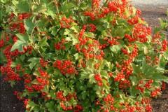 viburnum opulus Compactum , arbuste