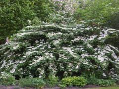 viburnum plicatum Mariesii , arbuste