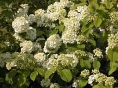 viburnum plicatum Popcorn , arbuste