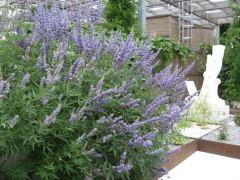 vitex castus agnus Latifolia , arbuste