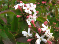 zabelia mosanensis , arbuste , parfum