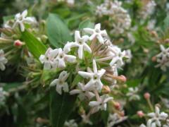 Zabelia triflora , arbuste , parfum