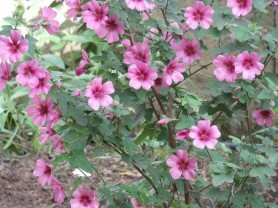 anisodonthea El Rayo , arbuste