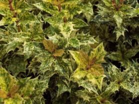osmanthus Goshiki , arbuste