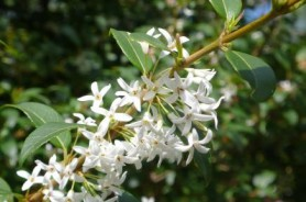 osmanthus x Burkwoodii , arbuste