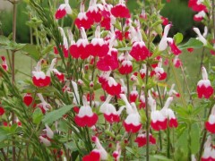 salvia Hot Lips , sous-arbrisseau