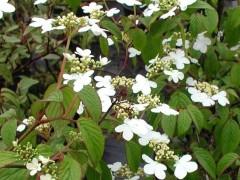 viburnum plicatum Watanabe , arbuste