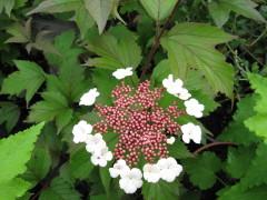 viburnum sargentii Onondaga , arbuste