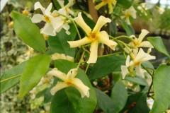 trachelospernum asiaticum , grimpante