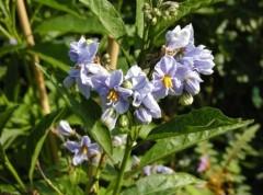 solanum bonariense bleu , arbuste