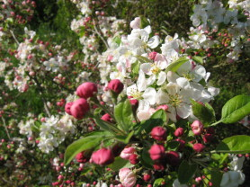 malus x Everest , arbre