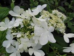 viburnum plicatum Shasta , arbuste