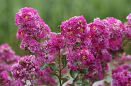 lagerstroemia Violet d'Ete , arbuste