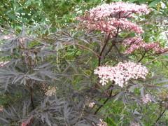 sambucus nigra Black Lace , arrbuste