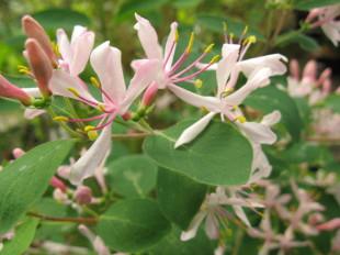 lonicera korolkowii var Floribunda arbuste pour haie , massif , isolé