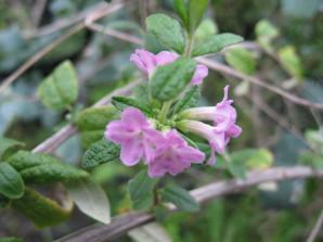 lonicera rupicola ( = thibetica ) arbuste pour haie , massif