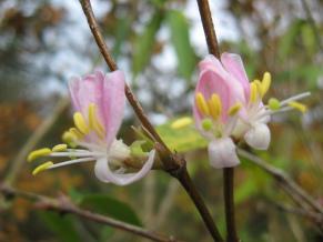 lonicera standishii Budapest arbuste à floraison hivernale parfumée , pour haie , massif , isolé