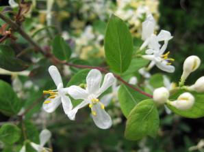 lonicera x Amoena Alba arbuste pour haie , massif , isolé