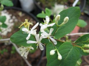 Lonicera demissa  ( chèvrefeuille ) arbuste pour haie , massif ou isolé